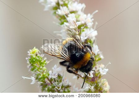 A large shaggy bee collects nectar from flowers of garden mint