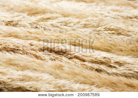 Dried fluffy cattail or typha flower texture background on closeup. Absract floral composition