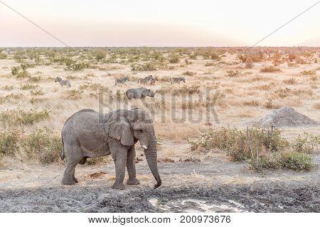 An African Elephant Loxodonta africana a black rhinoceros Diceros bicornis and Burchells zebras Equus quagga burchellii at sunset at a waterhole in Northern Namibia