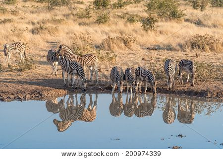 Burchells zebras Equus quagga burchellii with their reflections visible in a waterhole in Northern Namibia