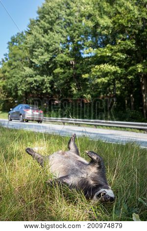 Dead badger killed by car, lyingwith its legs up in the air by the road. A car, out of focus, driving in the background vertical image