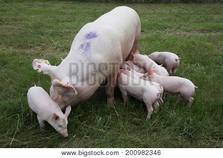 Little pigs eating milk from mother on meadow. Piglets suckling from fertile sow on summer pasture.Sow and her piglets on summer pasture