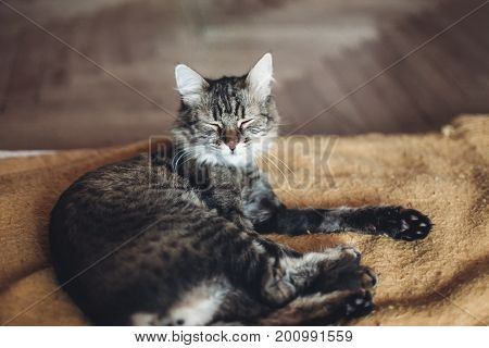 Funny Cat Sitting On Stylish Yellow Blanket With Funny Emotions In Rustic Room. Cute Tabby Grooming