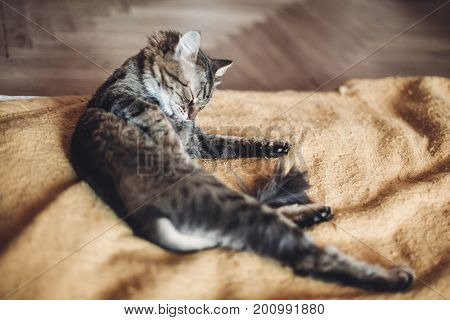 Beautiful Cat Licking And Washing Itself On Stylish Yellow Blanket With Funny Emotions In Rustic Roo