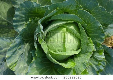 Background With A Big Fresh Cabbage Cabbage Closeup. Cabbage Cabbage On The Bed.