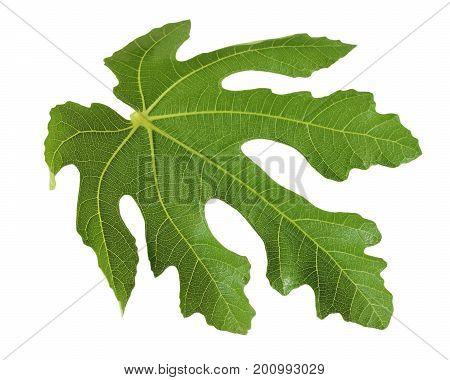 One leaf figs isolated on a white background. Herbarium botany.