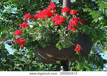 Beautiful red flowers in flower pot on the street lamp post pole in the city