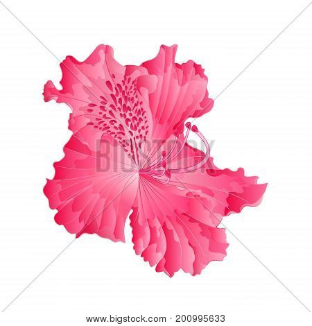 Beautiful Flower of pink Rhododendron Ponticum Isolated on White Background vector Illustration editable hand drawn