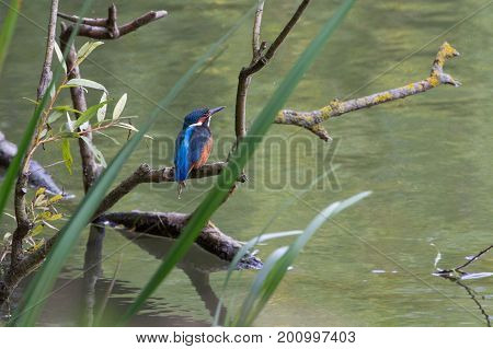 European Kingfisher Perched On Branch, River Thames, Uk