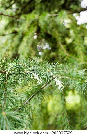 himalayan cedar close up tree photo cedrus deodara