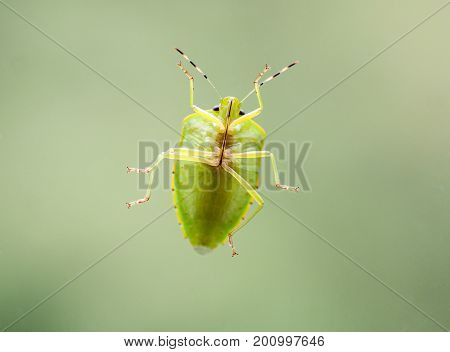 The underside view of a green stink bug's or green soldier bug. The color is typically bright green with narrow yellow orange or reddish edges. It is a large shield-shaped bug with an elongate oval form and a length between 13-18 mm. It is found in orchar
