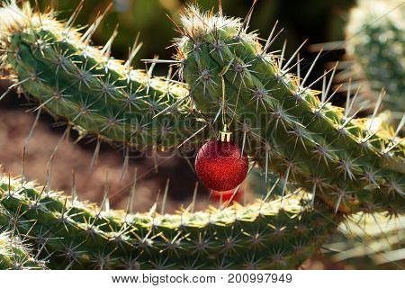 Christmas holiday celebration concept. Cactus with new year ball. Red bauble hanging from prickle. Plant with sharp spines on sunny day. Desert nature and natural environment.
