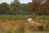 Red deer stag in Richmond Park London Enlgand landscape during rut season Autumn Fall poster