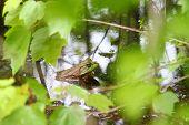Bullfrog (Rana catesbeiana) in a wetland of northern Alabama. poster