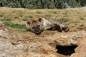 Large Spotted / Laughing Hyena (Crocuta crocuta) poster