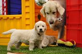 Golden retriever puppy with his mother and toys poster