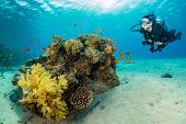 Underwater coral reef with woman scuba diver exploring sea bottom. Tropical sea with beautiful ocean ecosystem. poster