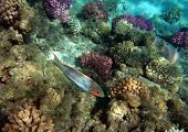 Moon wrasse at the Red Sea coral reef poster