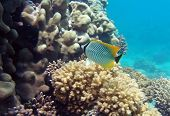 Rarest black-tail pearlscal butterfly fish at the coral reef poster