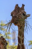 The reticulated giraffe also known as the Somali giraffe is a species of giraffe native to the Horn of Africa. It lives in Somalia southern Ethiopia and northern Kenya. poster