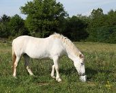 A white horse enjoys a cube of mineralised horse lick used to supplement sodium chloride and nutrients in their diet poster