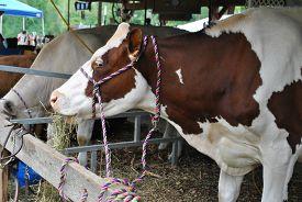 Show Cow Feeding on Hay in a Barn