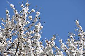 Cherry Tree Flower