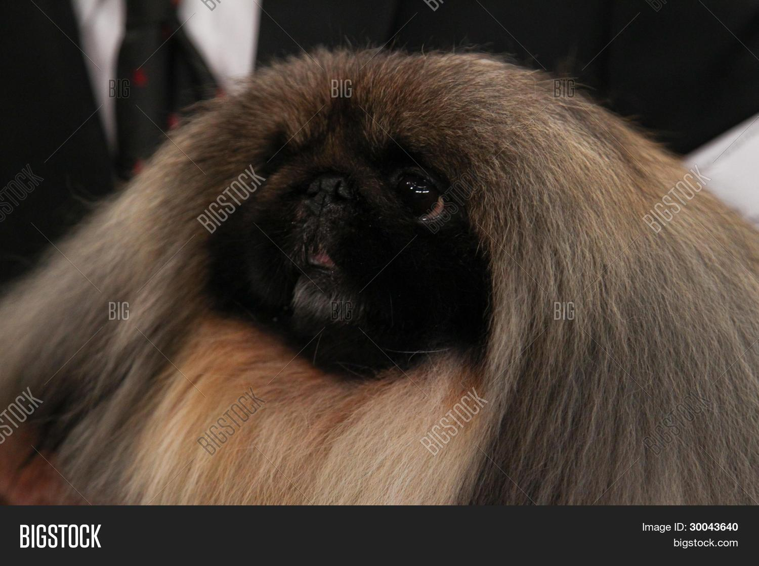 Pekingese Wins Best in Show at the 136th Westminster Kennel Club Dog Show Pekingese Wins Best in Show at the 136th Westminster Kennel Club Dog Show new pics