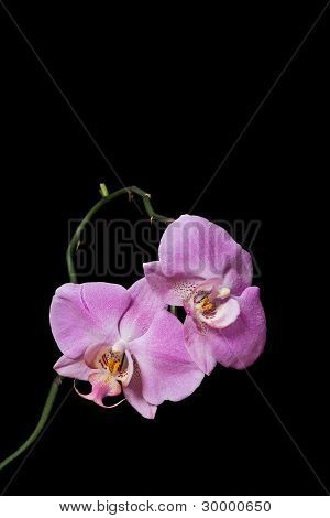 Blossoming Pink Orchid on a Black Background