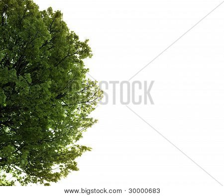 Lush Maple Tree Growing In The Wild With Copy Space