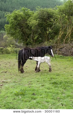 White Foal Feeding From Its Mother