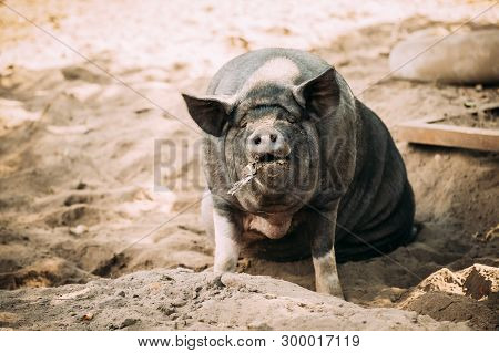 Large Black Pig Sitting In Sand In Farm Yard. Pig Farming Is Raising And Breeding Of Domestic Pigs.