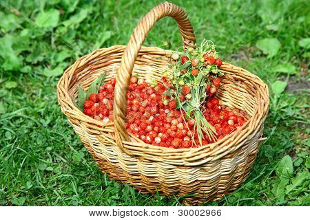 Basket Of Wild Strawberries On The Grass In Sunlight