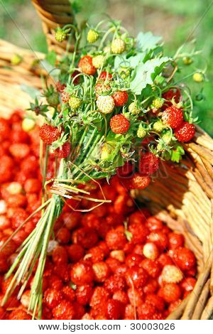 Fresh Bouquet Of Wild Forest Strawberries