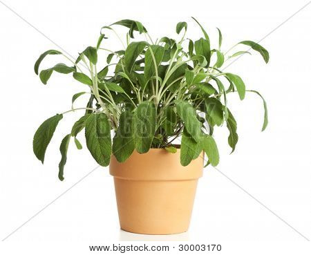 sage plant in terracotta flower pot isolated on white