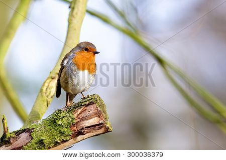 Friendly Winter Robin At The Local Country Park