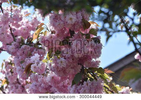 Very Nice Pion K Japanese Cherry In My Garden