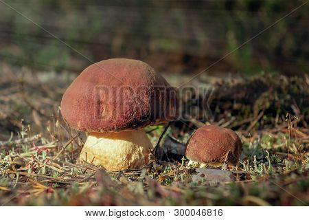 Two Beautiful Little Mushrooms Boletus Edulis, Known As A Penny Bun, Grow In A Pine Moning Forest At