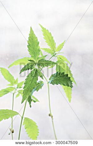 Young Green Shoots Of Hemp On A Light Background