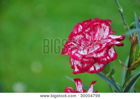 carnation white and red