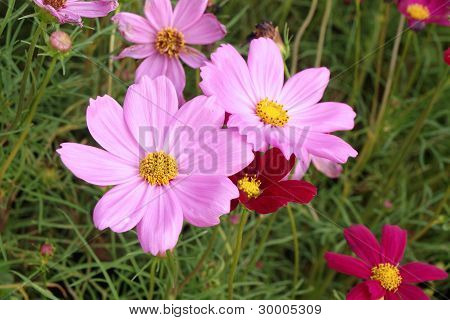 An image of closeup a nice cosmea