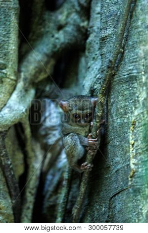 Spectral Tarsier, Tarsius spectrum, portrait of rare endemic nocturnal mammals, small cute primate in large ficus tree in jungle, Tangkoko National Park, Sulawesi, Indonesia, Asia poster