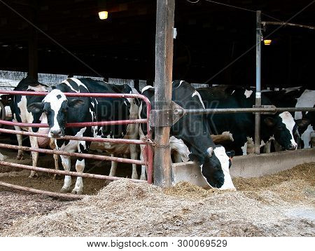 A Herd Of  Black And White Holstein Milking Cows Eating Ground Corn, Grain, And Silage In An Open Ma