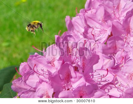 Bumblebee Flying To A Flower