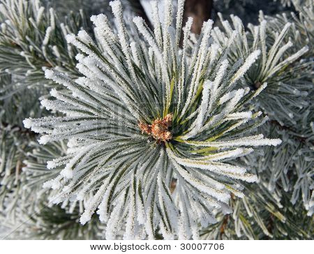 Close Up Of Frost On Pine Tree
