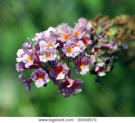 Purple Butterfly Bush Flower
