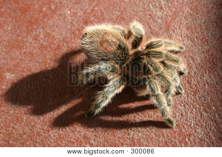 rose hair tarantula with scary shadow on brick colored background. poster