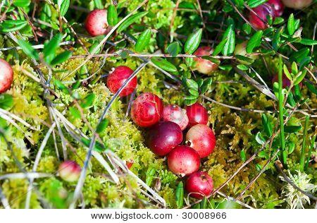 Wild Cranberries Growing In Bog, Autumn Harvesting