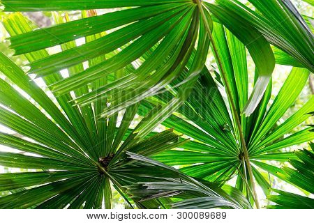 Green Leaves And Nature Background Concept - Close Up Under Green Lady Palm Leaves In Garden Nature