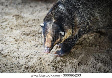 Hog Badger / Arctonyx Collaris Badger Greater Hog